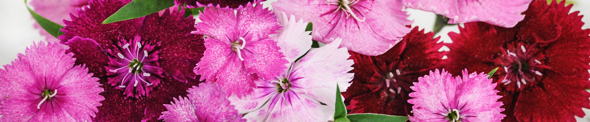 Dianthus-Carnations