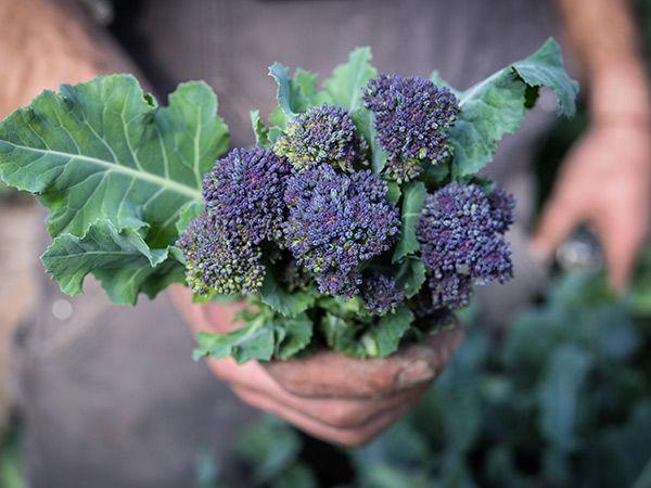 BROCCOLI Purple Sprouting 100 Seeds HEIRLOOM vegetable garden FROST HARDY winter