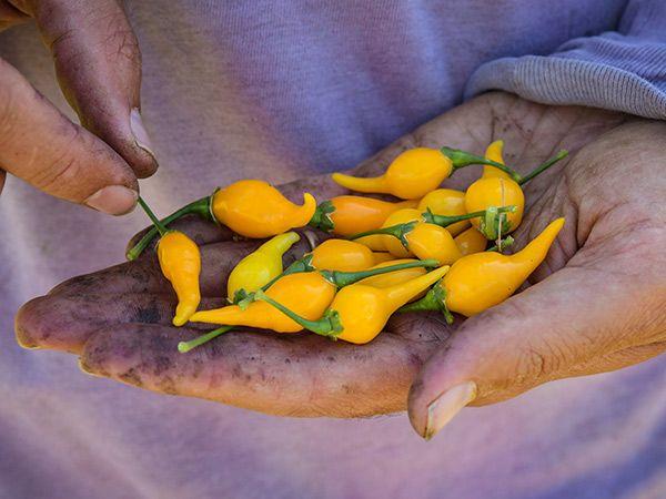 20 Fresh Hand Selected Biquinho Yellow Premium Pepper Seeds-A 6