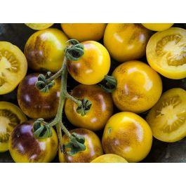 Bosque Blue Bumblebee Tomato