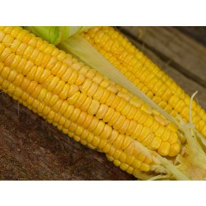 Golden Bantam 12-Row Corn