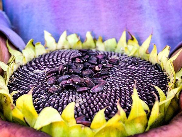Hopi Black Dye - Sunflower