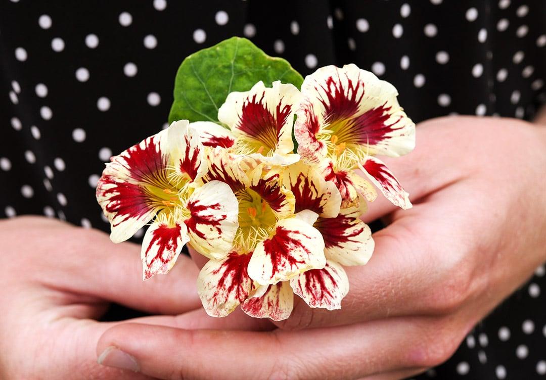 Nasturtium Orchid Cream LSS