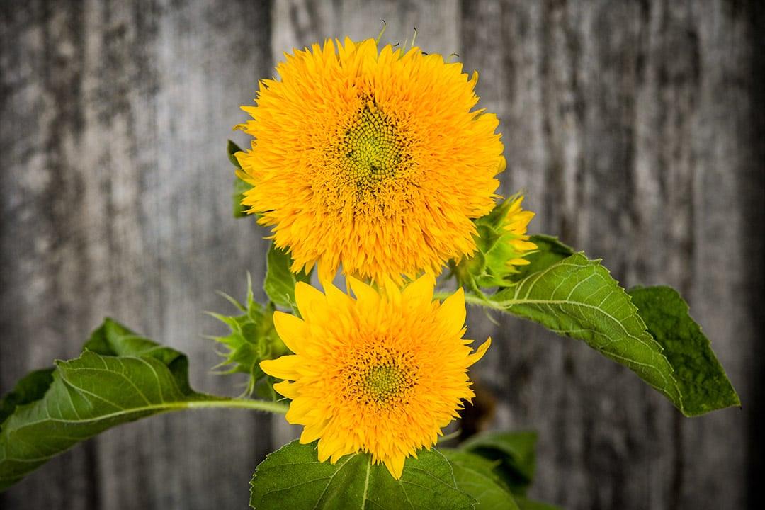 Goin Coin Sunflower