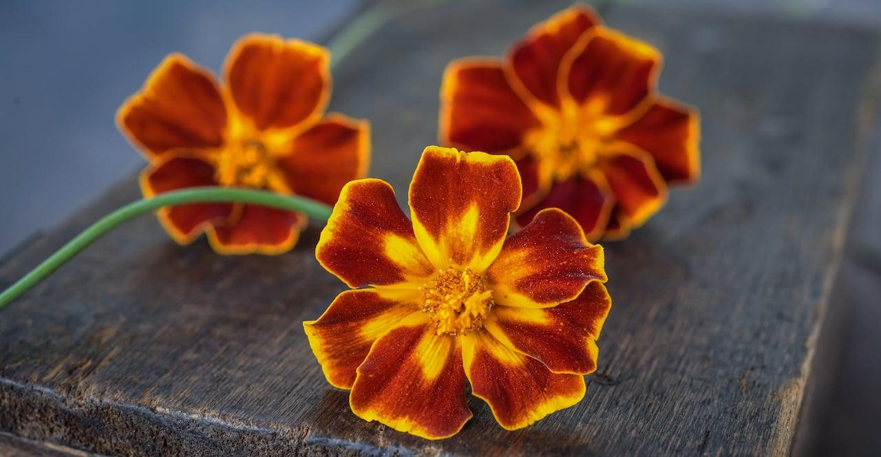 Burning Embers marigold