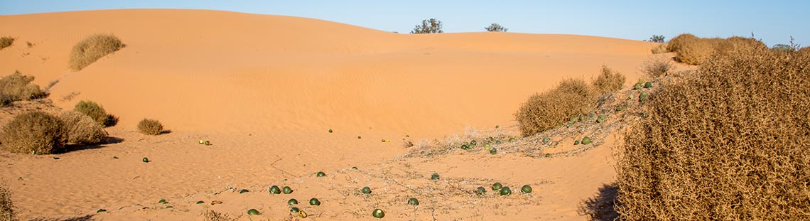 Watermelon growing in desert
