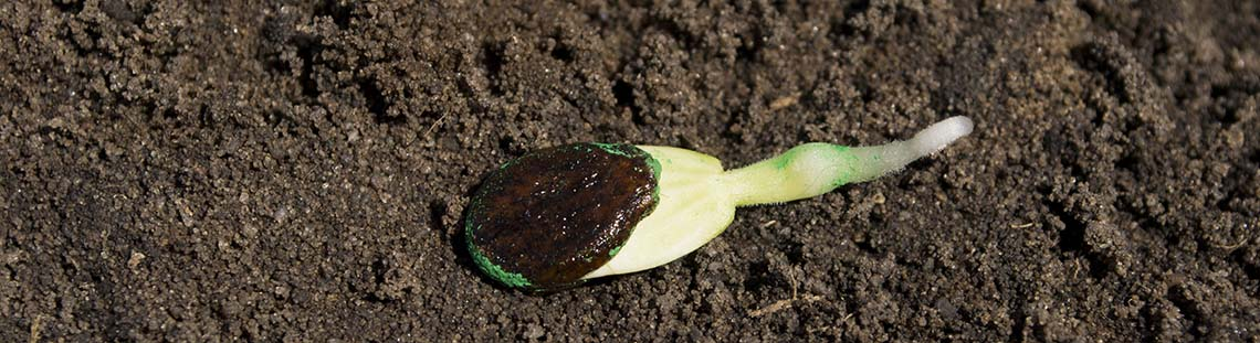 watermelon seed sprouting