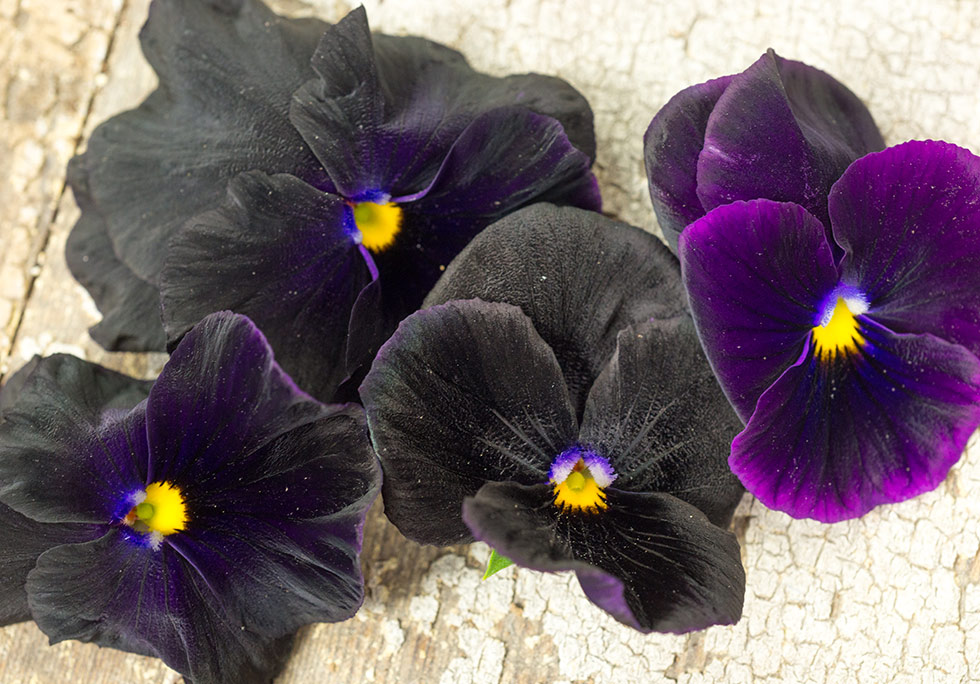 Time To Sow Pansies