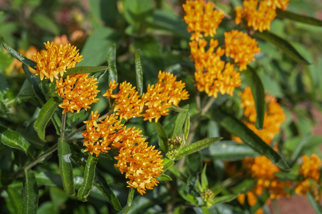 Butterfly weed milkweed