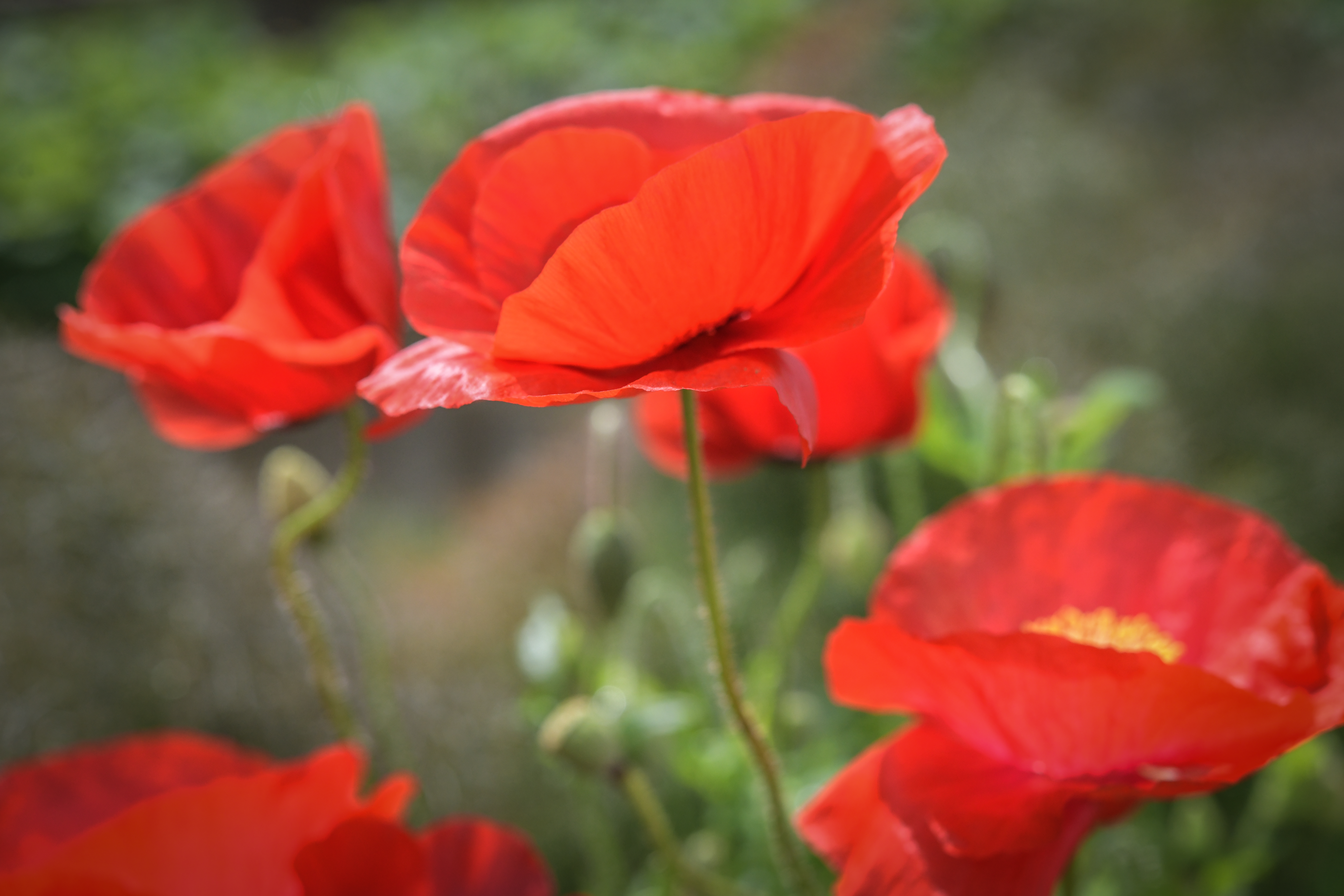 Red poppies close up American Legion poppy flower