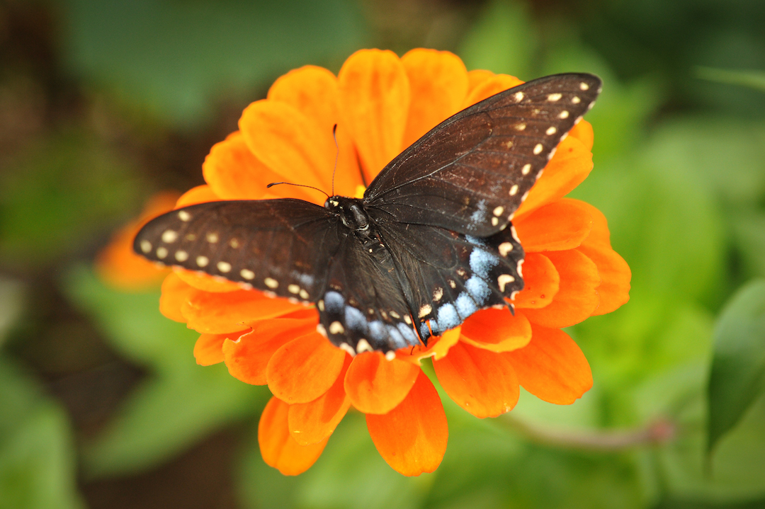 Orange King zinnia with butterfly
