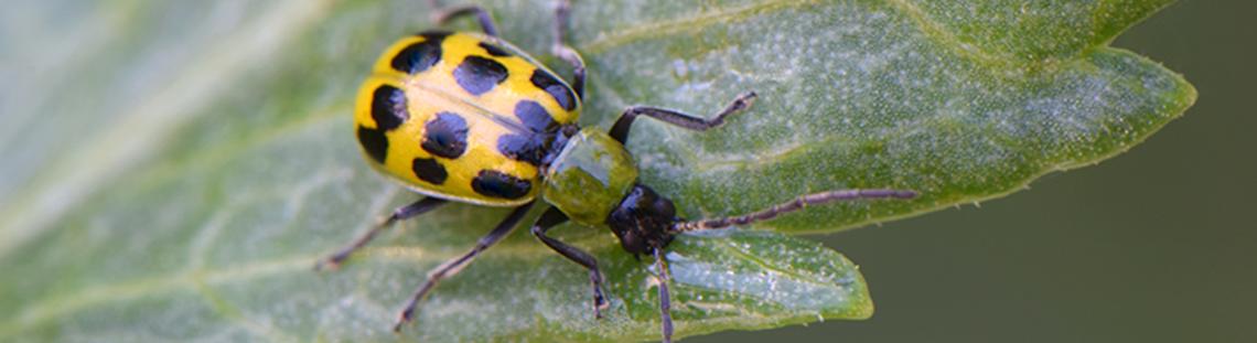 cucumber beetle on watermelon